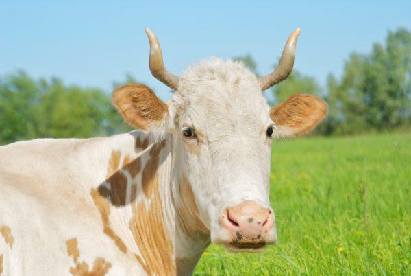 Наши коровы на выпасе