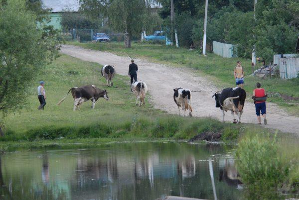 Наши коровы